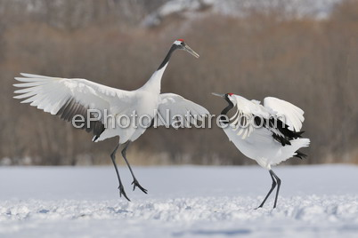 Red-crowned Crane